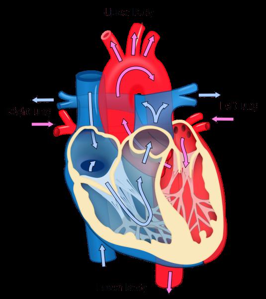 cardiology medium